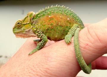 Dieter Setz - chameleon