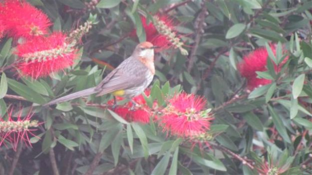 .Gurneys sugar bird