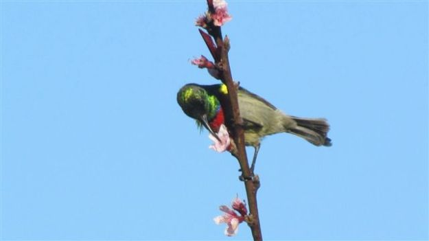 Lesser double collared sunbird I think.