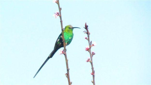 Malachite sunbird again