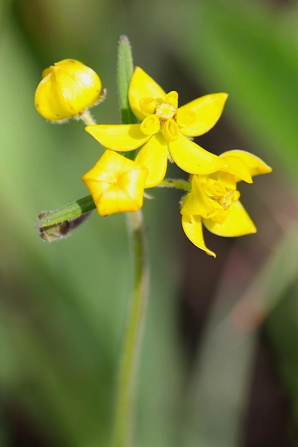 Plants Aspidonepsis diploglossa