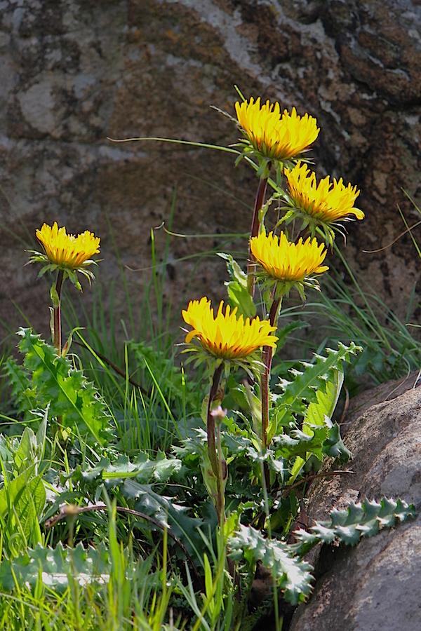 Plants Berkheya macrocephala