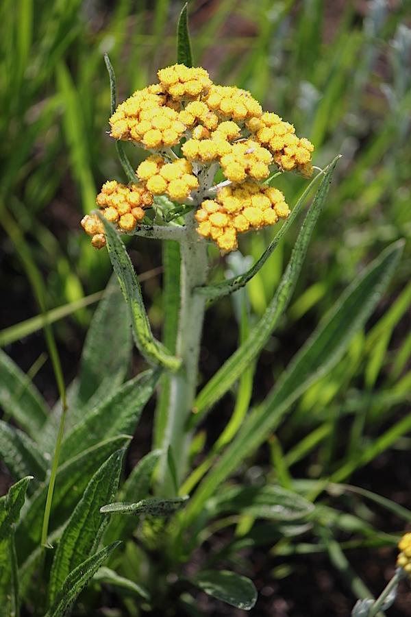 Plants Helichrysum pallidum