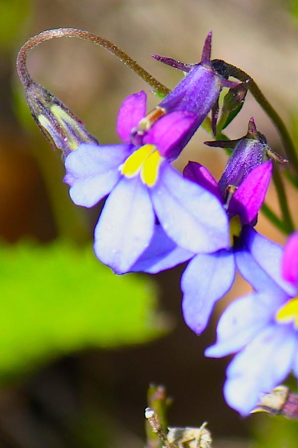 Plants Monopsis decipiens