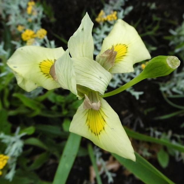 Plants Moraea graminicola