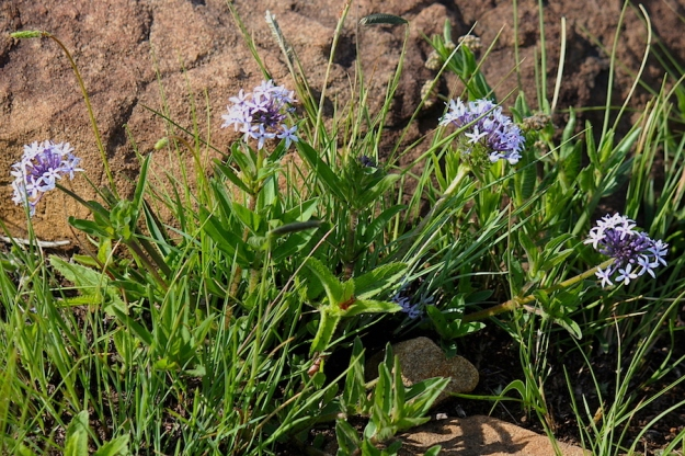 Plants Pentanisia prunelloides