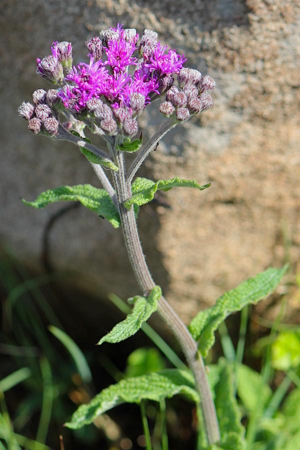 Plants Vernonia hirsuta