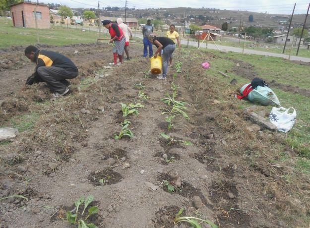 r mpop garden october 038 planting spinach