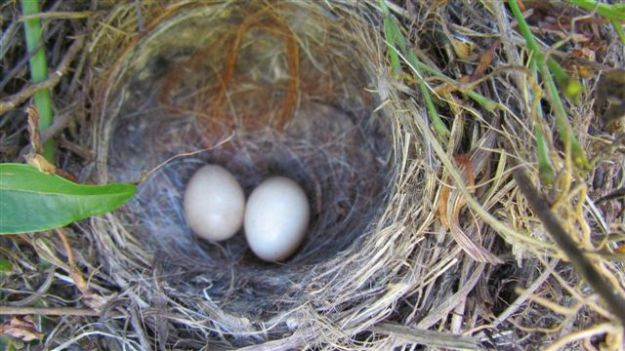 Wagtail eggs.