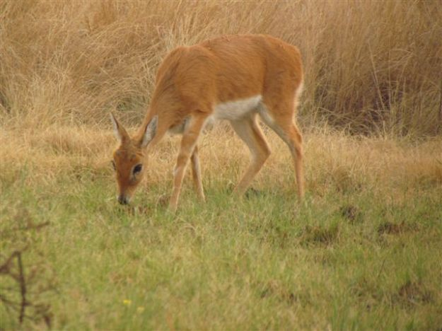 We still see our female oribi every few days thank goodness.  We had never seen this male oribi before..