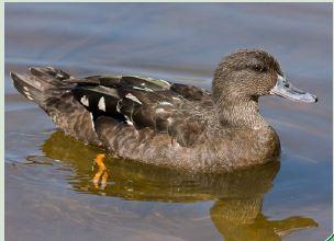Black African Duck