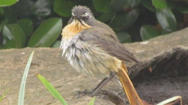 A very wet bedraggled cape robin