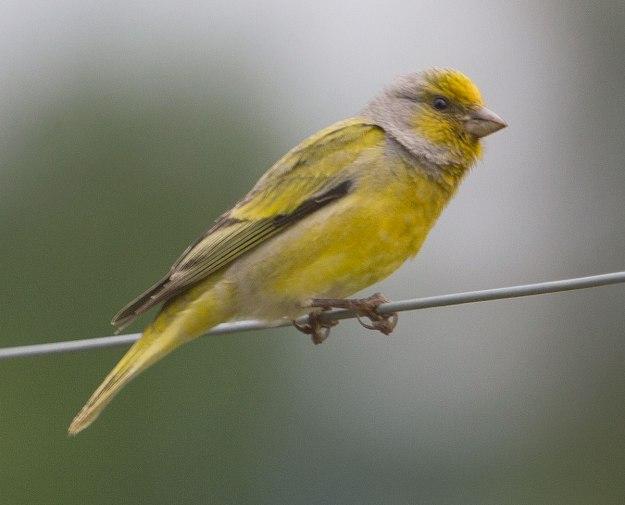 Boston-birds_4298_Cape-Canary