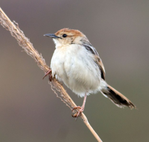 Boston_2222_Levaillant's-Cisticola