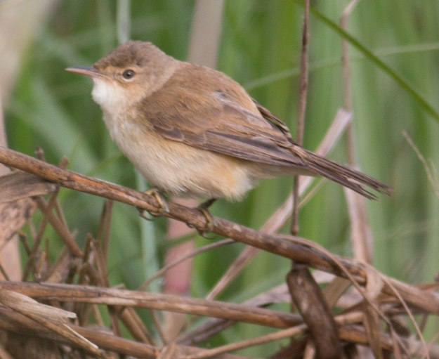 Boston_2459_African-Reed-Warbler