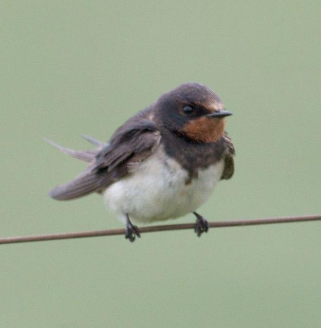 Boston_2596_Barn-Swallow