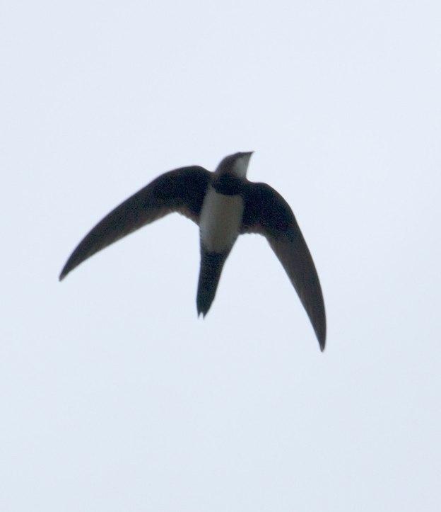 Boston_2604_Alpine-Swift