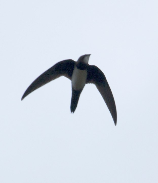 Boston_2604_Alpine-Swift