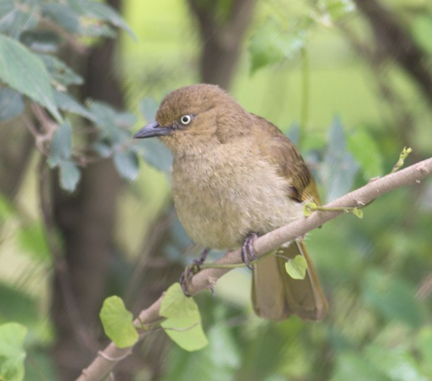 Boston_2615_Sombre-Greenbul