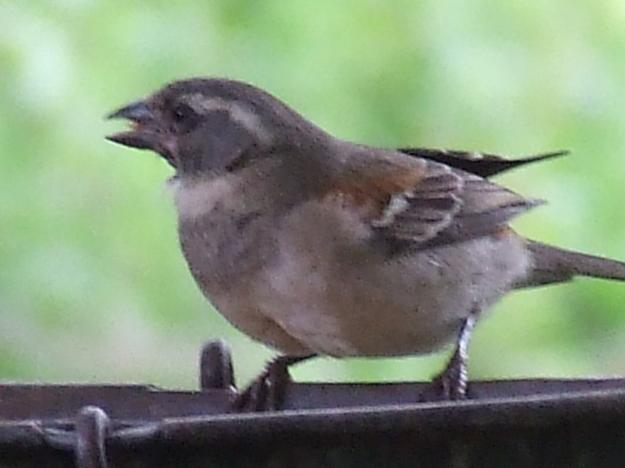 DSCF3802Cape Sparrow