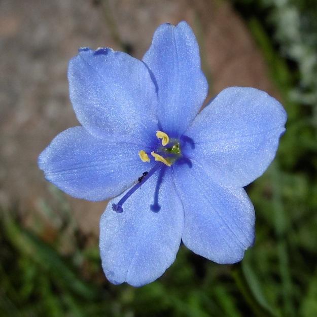 Flower Aristea cognata P1010858