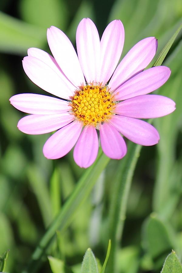 Flower Dimorphotheca jucunda IMG_2297