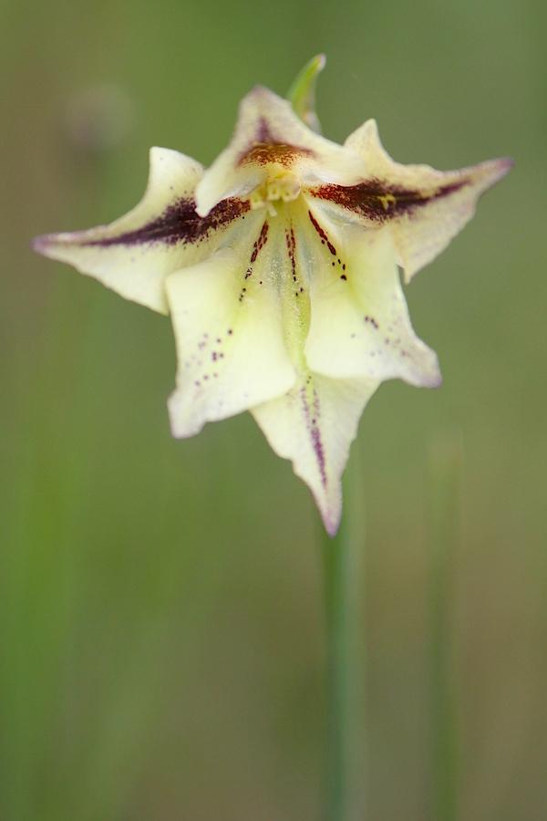 Flower Gladiolus longicollis IMG_2248