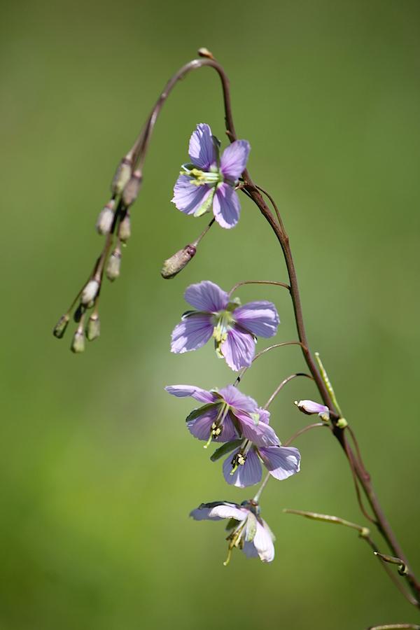 Flower Heliophila rigidiuscula IMG_2331
