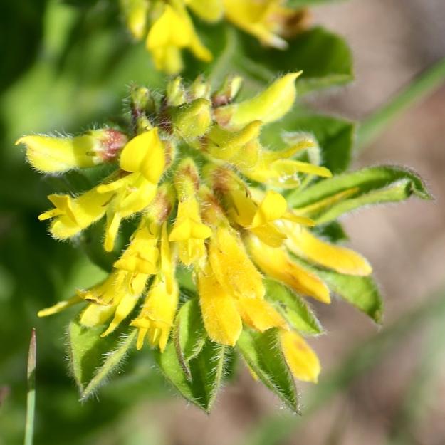 Flower Lotononis corymbosa IMG_2334