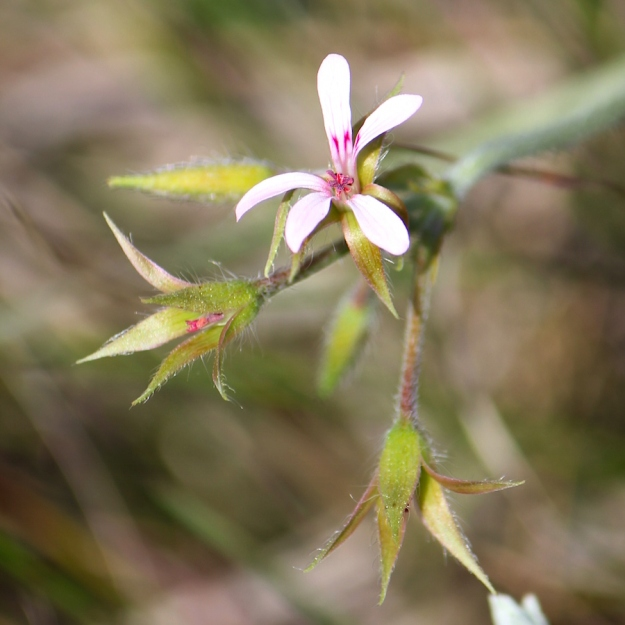 Flower Pelargonium alchemilloides IMG_2333