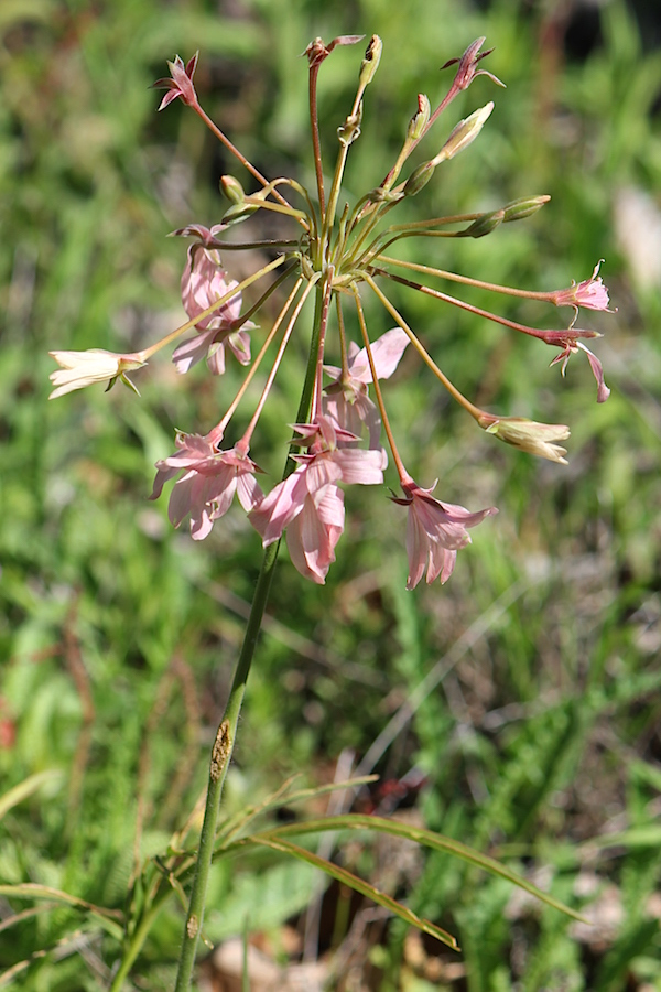Flower Pelargonium luridum IMG_2281