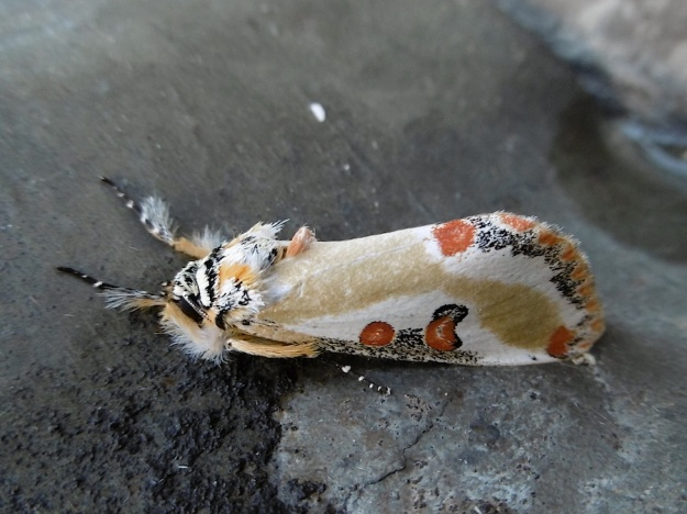 Insect Moth P1010855