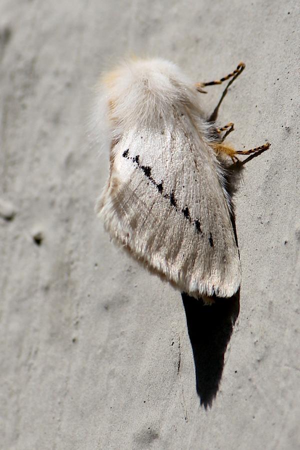 Insect Moth Slug moth IMG_2270