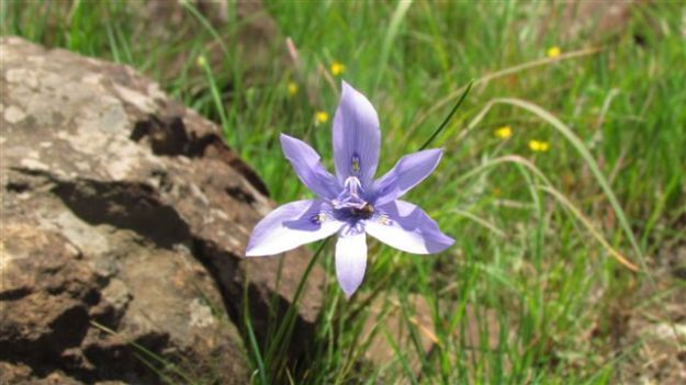 Moraea inclinata
