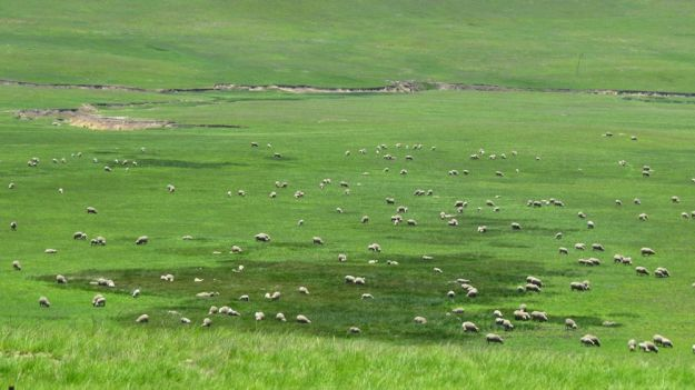 r sheep wetland de beers pass 091
