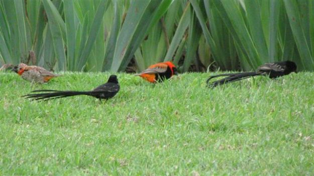 This southern red bishop male has joined the group of red collared widow birds.  The one on the far left looks like a transitional male southern red bishop