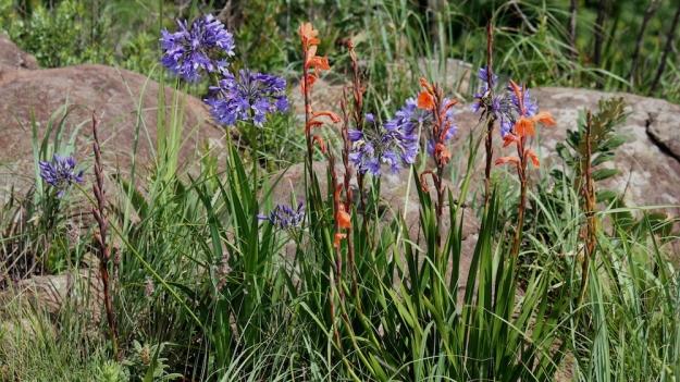 02 Cover Flower Watsonia Socuim & Agapanthus campanulatus IMG_2479