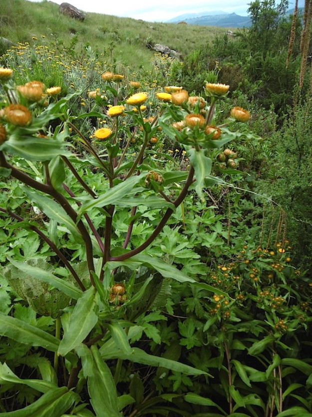 2015 01 04 CREW Mahaqwa 02 Helichrysum sp P1020254