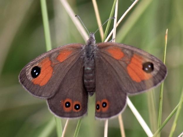 2015 01 04 CREW Mahaqwa 03 Butterfly Flase Silver-bottom Brown pos ID IMG_2522