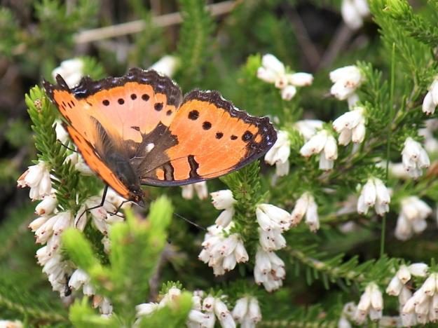 2015 01 04 CREW Mahaqwa 03 Butterfly Gaudy Commodore IMG_2519