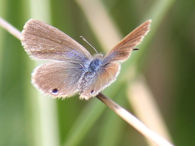 2015 01 04 CREW Mahaqwa 03 Butterfly Marsh Blue pos ID IMG_2510