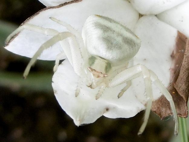 2015 01 04 CREW Mahaqwa 03 Crab spider on Rhodohypoxis baurii P1020304