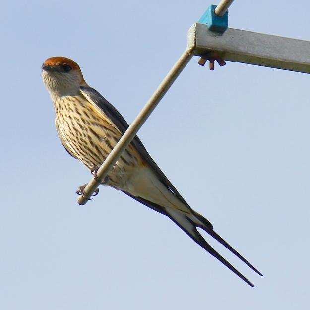 Bird Striped Swallow IMG_2439
