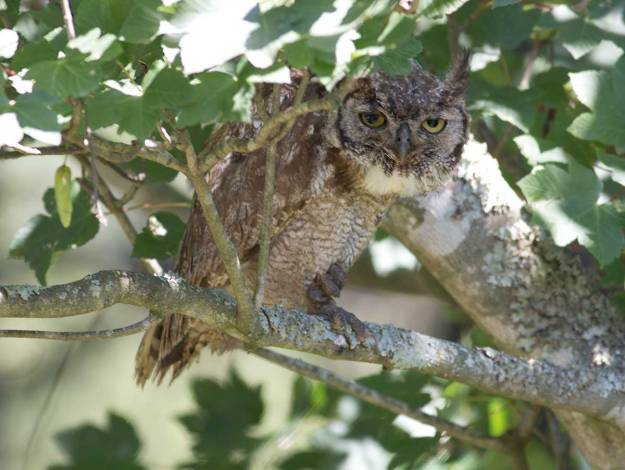 Boston_3107_Spotted-Eagle-Owl