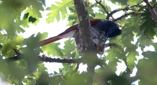 Boston_3215_African-Paradise-Flycatcher