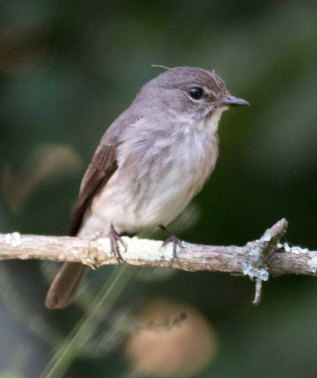 Boston_3263_African-Dusky-Flycatcher