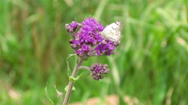 brown veined butterfly on a felicia wrightii