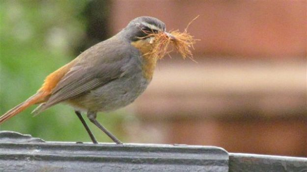 cape robin with a mouthful