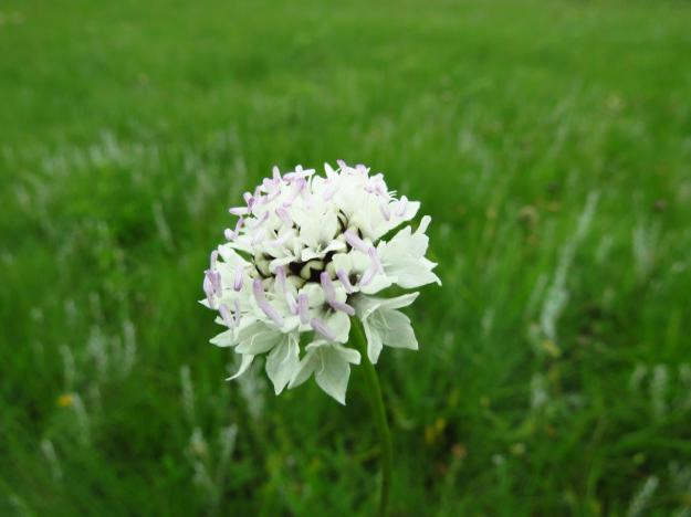 December flowers Cephalaria oblongifolia