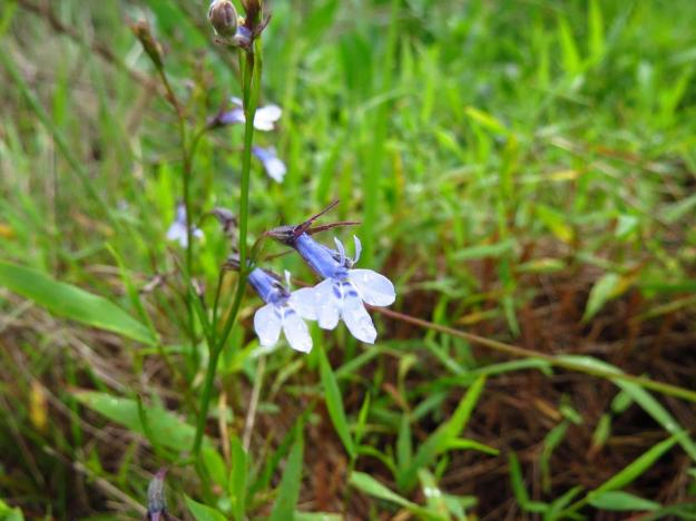 December flowers lobelia